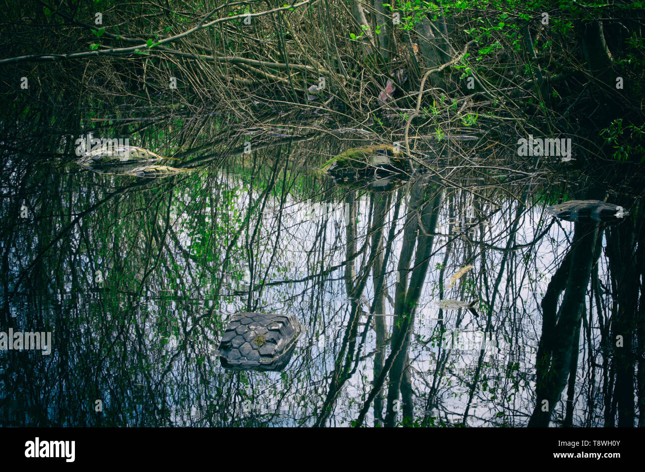 Used tires covered with moss and illegally flooded in a forest pond and trees reflected in the water - Stock Image