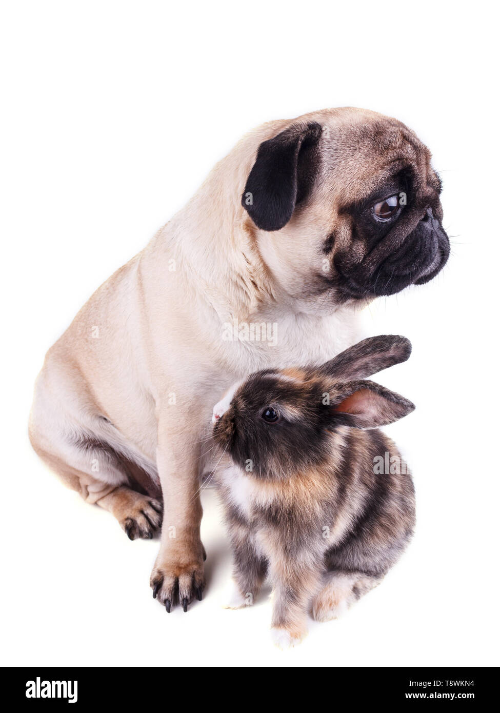 Dog pug and tricolor rabbit on a white background - Stock Image