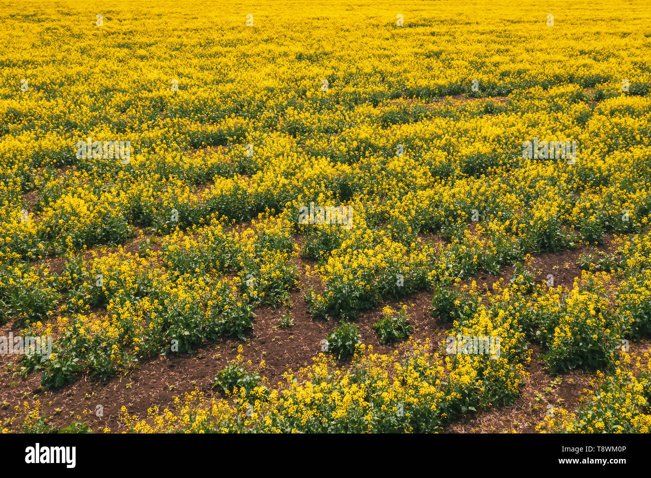 Aerial view of canola rapeseed field in poor condition due to drought season and arid climate - Stock Image
