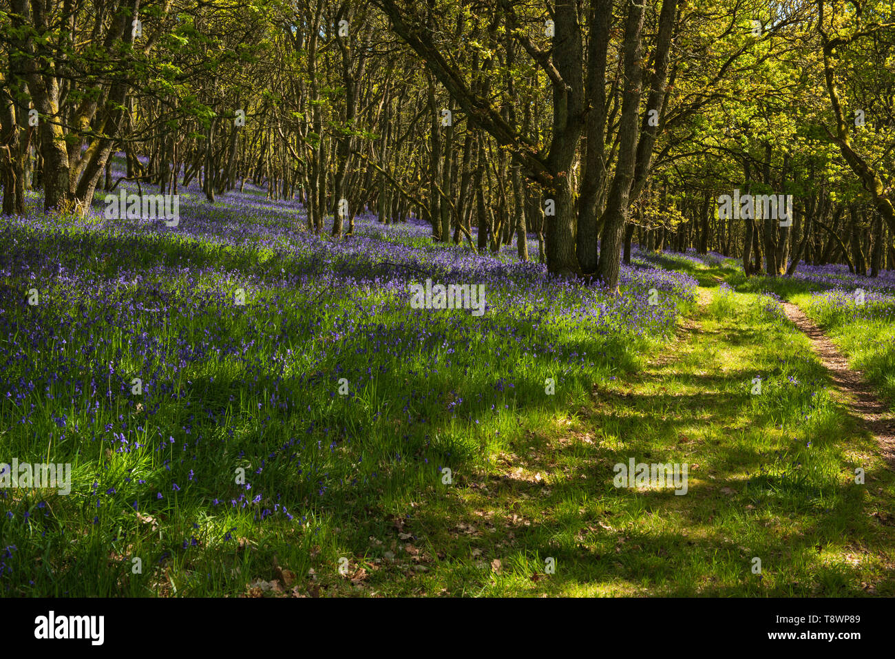 Ruthven Bluebell wood on the bank of the River Isla, Angus, Scotland. Stock Photo