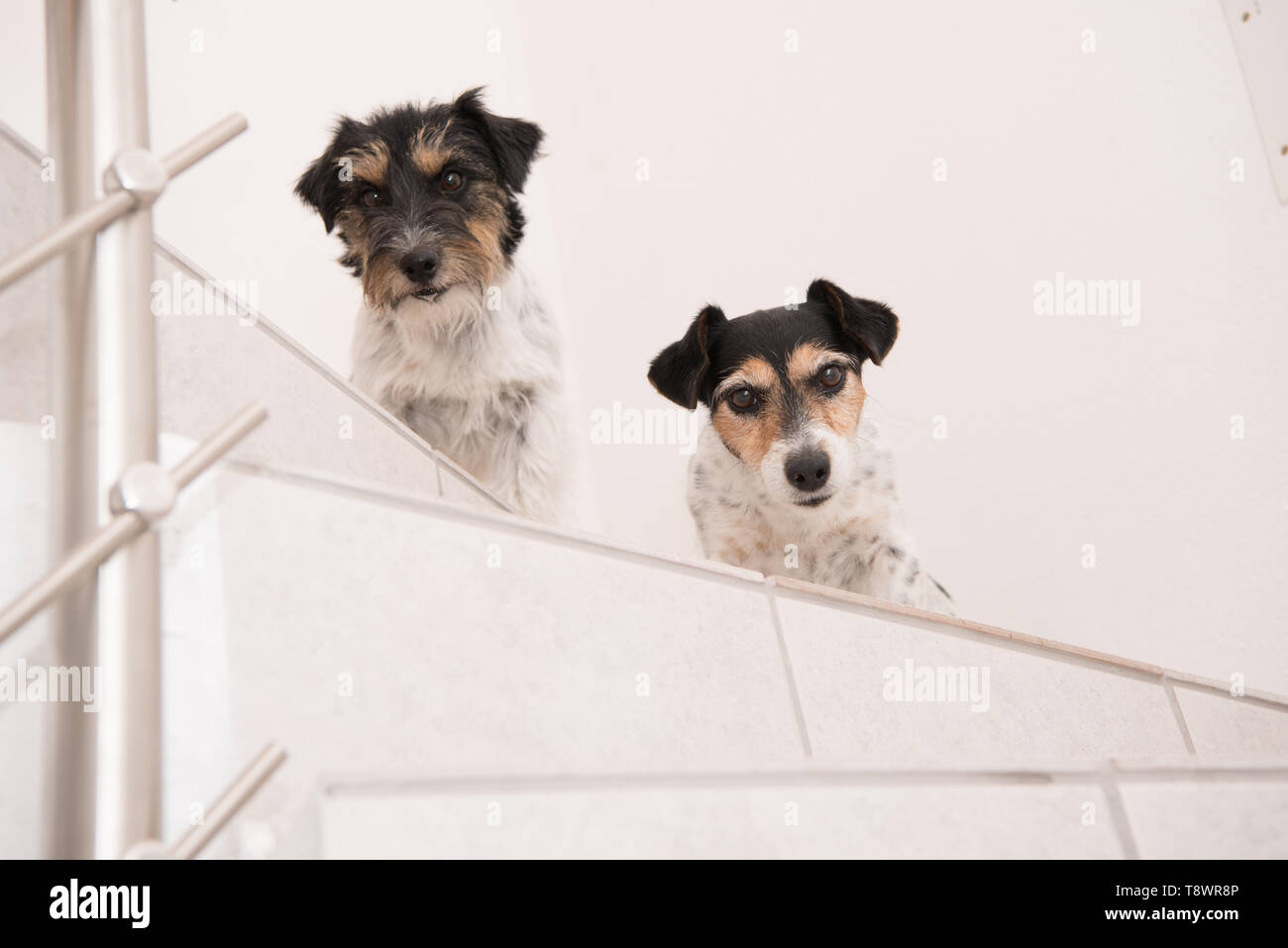 Cute Jack Russell Terrier dog sits on a stairs and looks forwards - Stock Image