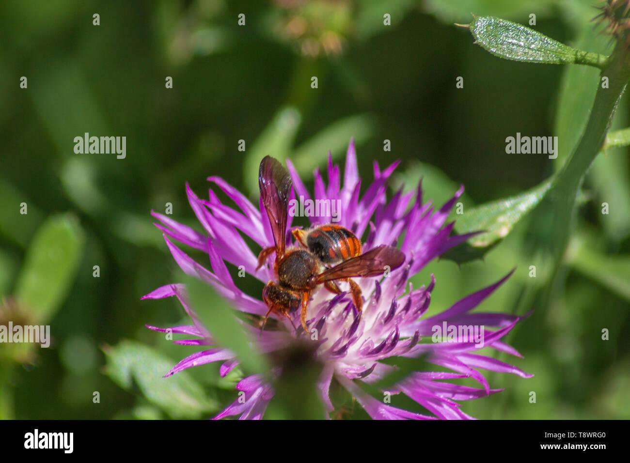 Rhodanthidium sticticum Bee feeding on a Knapweed plant Centaurea - Stock Image