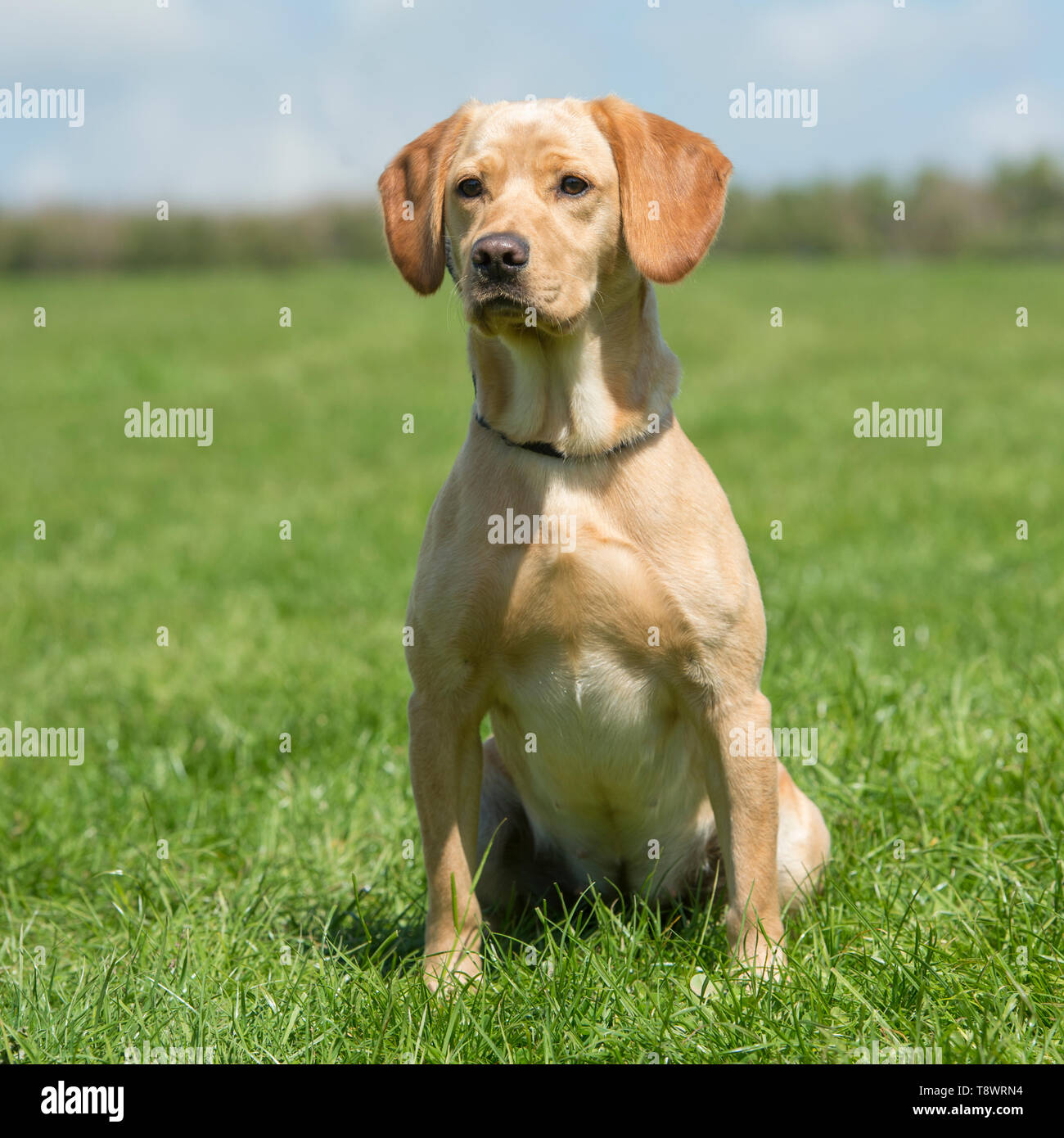 labrador cross cocker spaniel dog - Stock Image