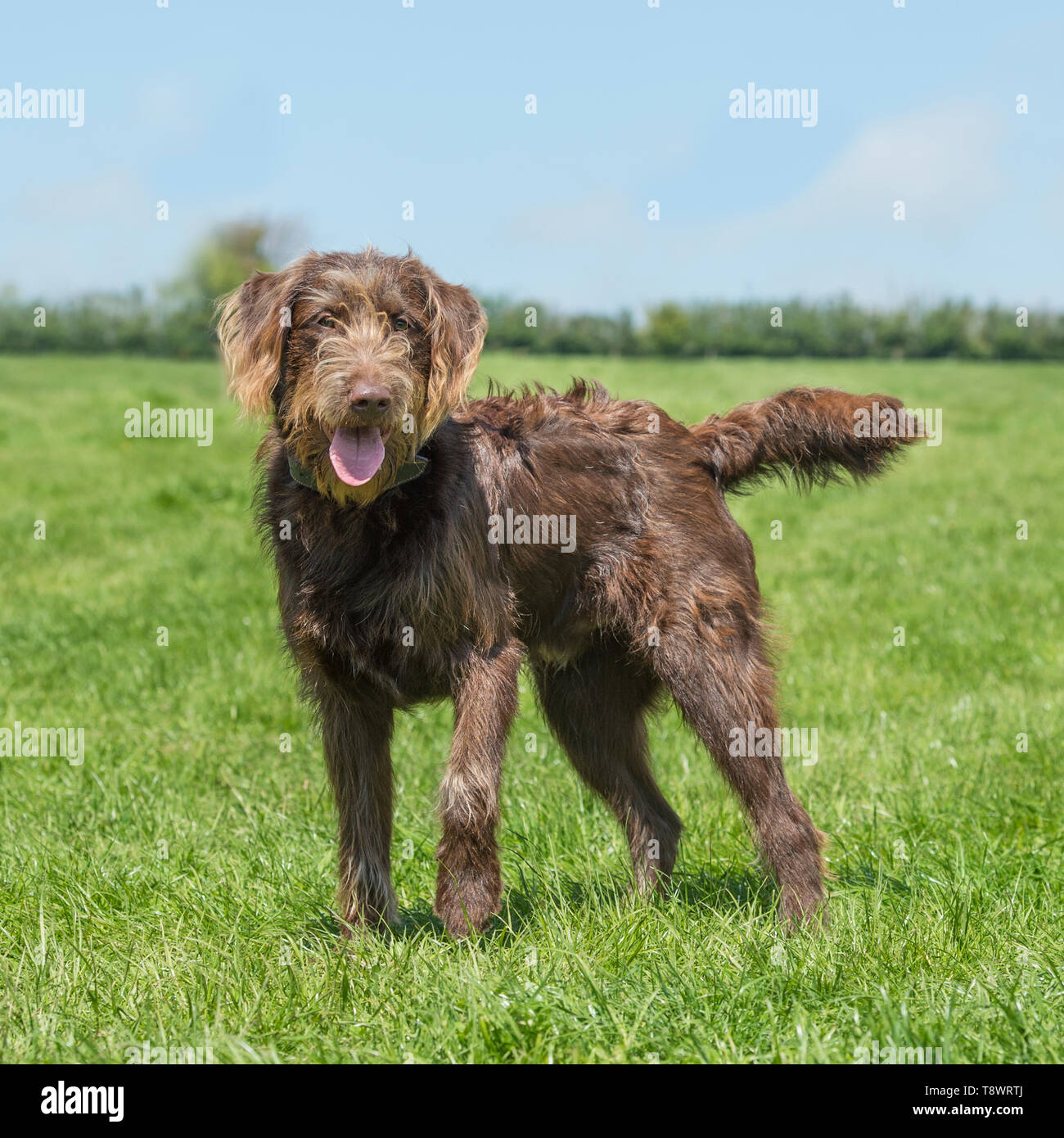 Labradoodle dog - Stock Image