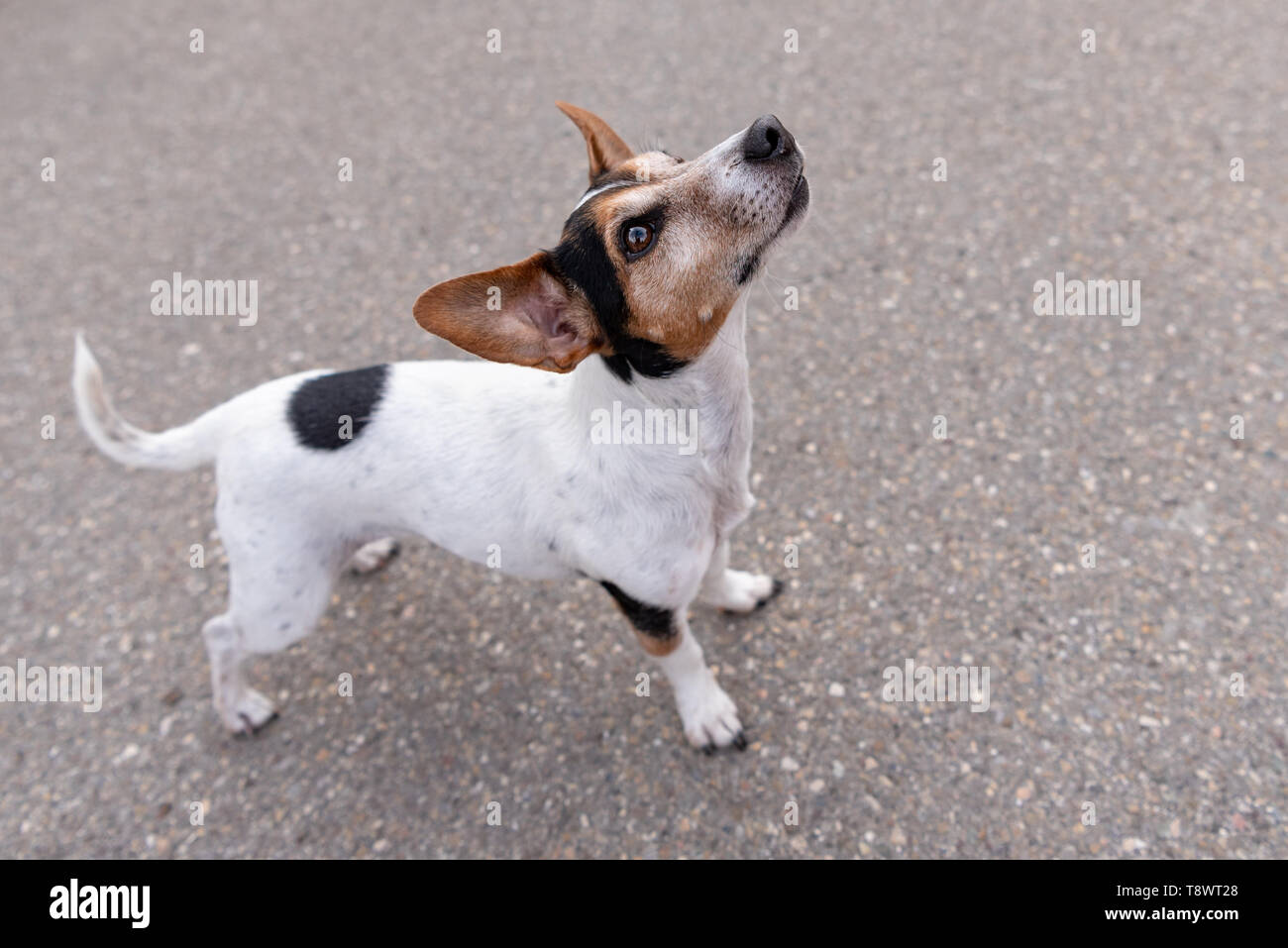 Jack Russell Terrier 11 years old, hair style smooth. Cute little little dog. Doggy is looking up, funny perspective - Stock Image