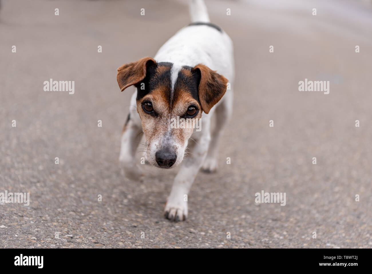 Jack Russell Terrier dog walking on the street - Stock Image