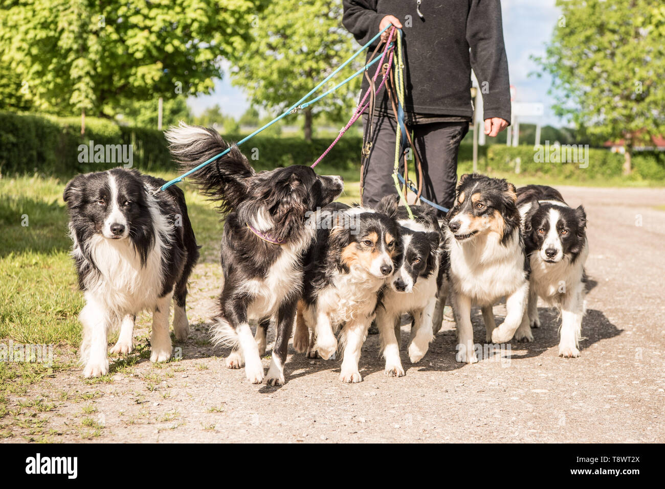 Woman walks with many dogs on a leash. A pack of obedient Boder Collie walk on a street with their owner. - Stock Image