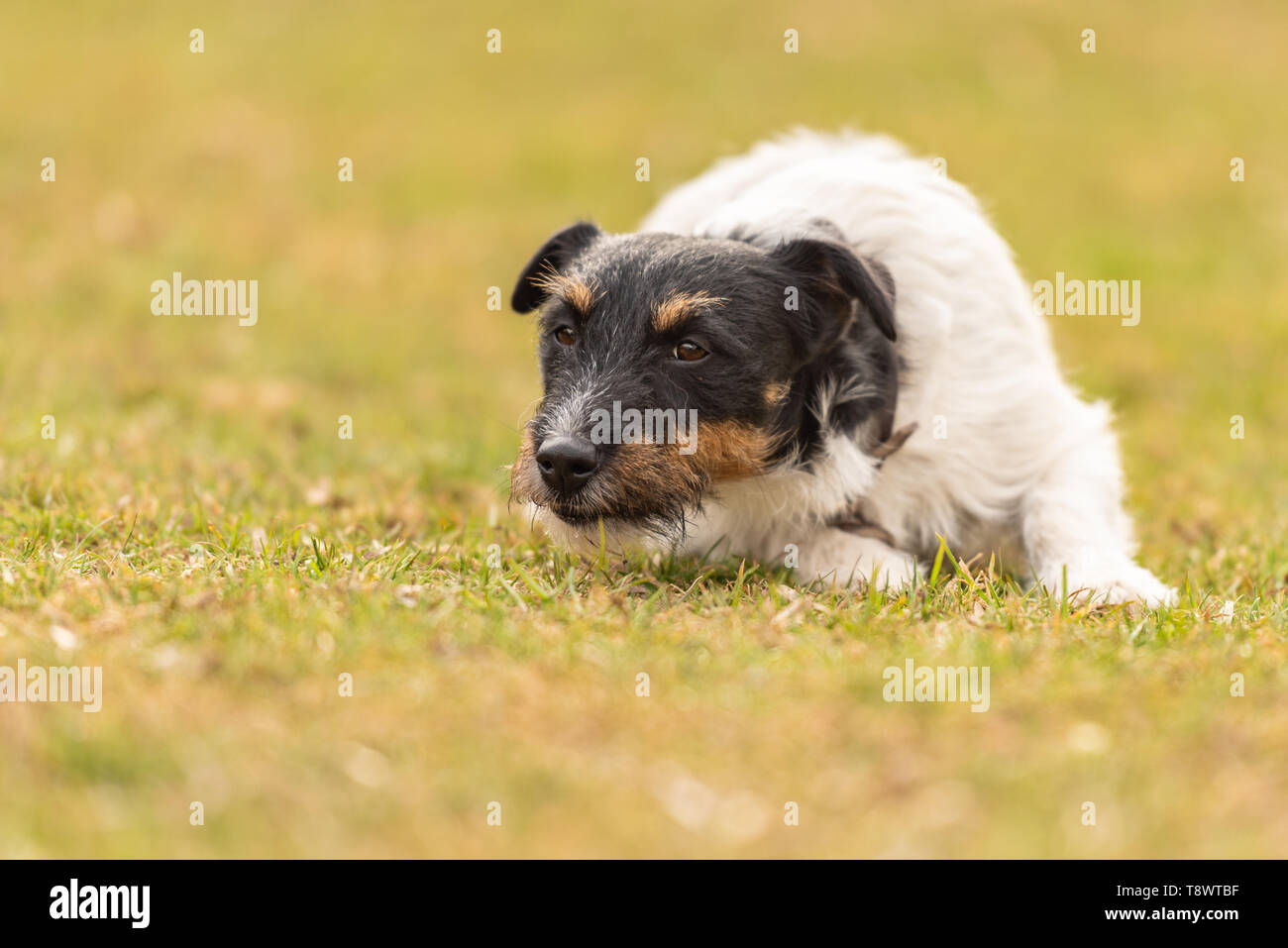 Obedient dog is lying alone on the floor in a green meadow and looks forward - Stock Image