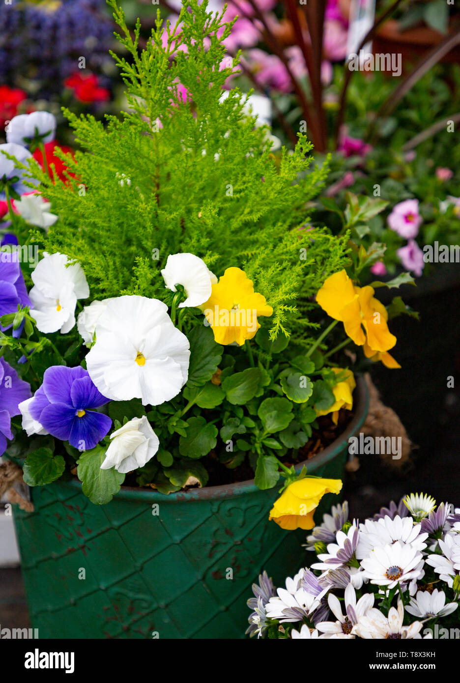 Green container planted with Violas and a Conifer - Stock Image