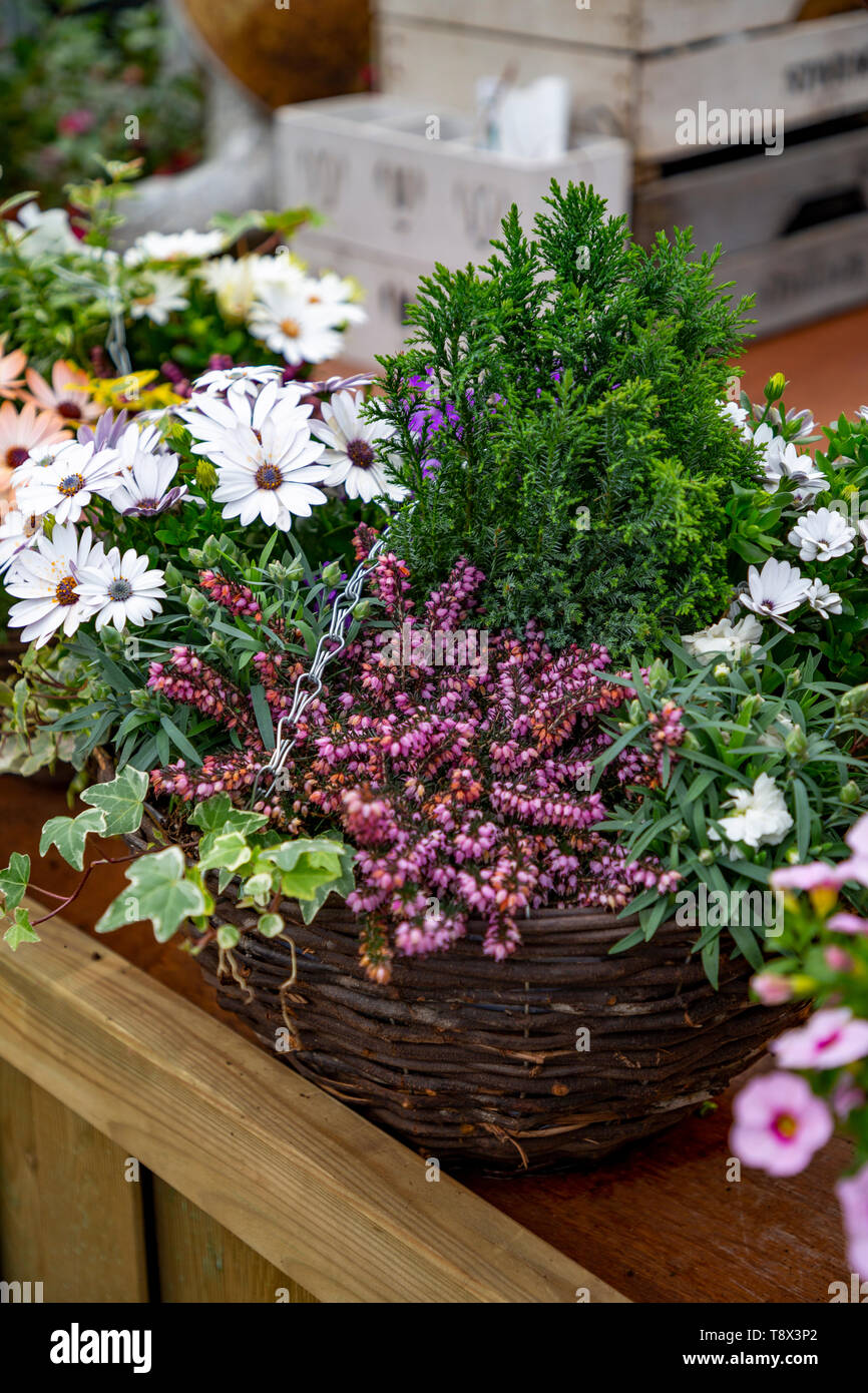 Woven hanging basket planted with Erica, Ivy and Conifer - Stock Image