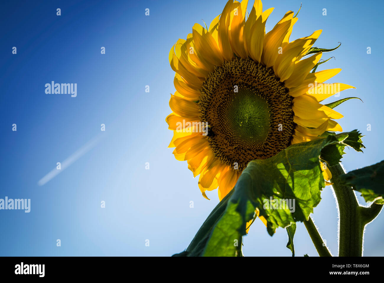 Sunflower with bees an blue sky Stock Photo