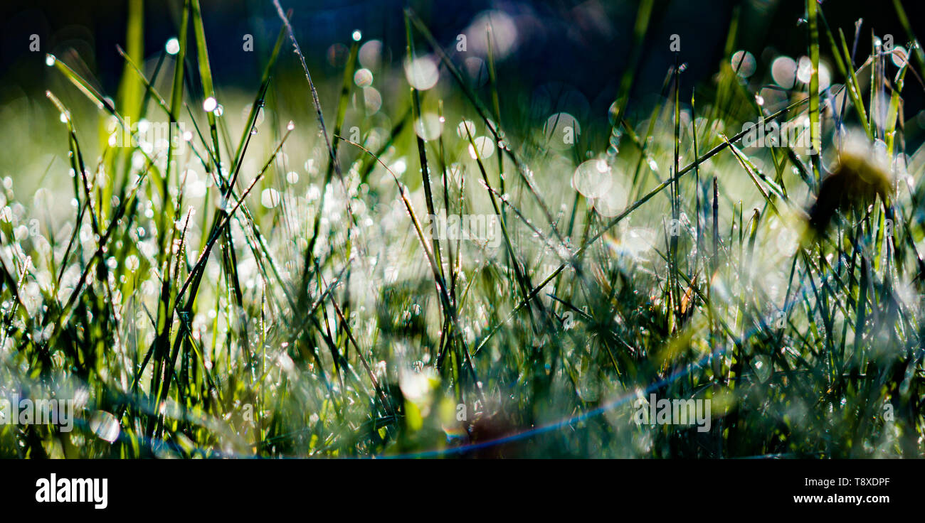 15 May 2019, Hessen, Ehrenberg: The morning sun shines on a meadow in the Rhön. Tautrophes hang from the blades of grass. Photo: Frank Rumpenhorst/dpa - Stock Image