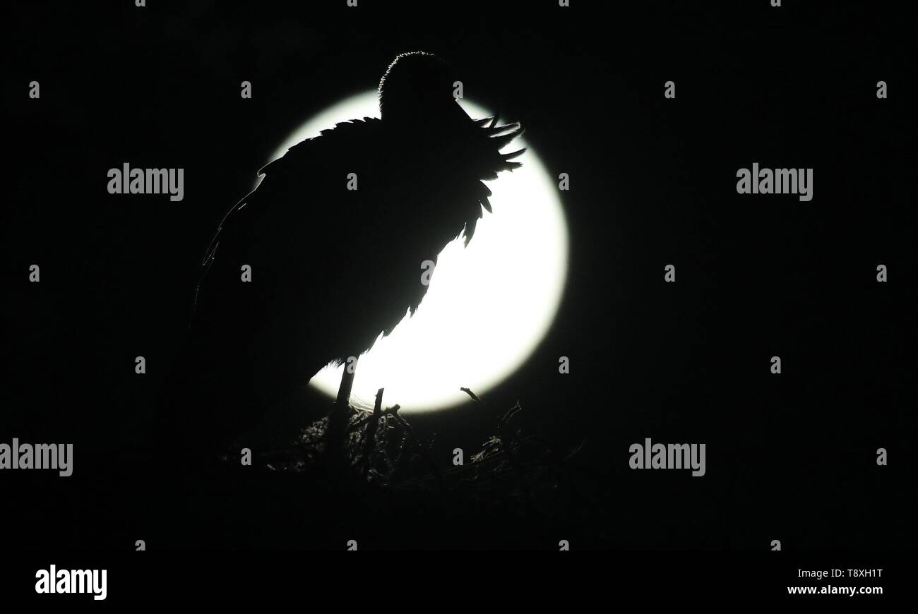 Riedlingen Cell, Deutschland. 21st Mar, 2019. A stork stands in its nest while the moon shines in the background. | usage worldwide Credit: dpa/Alamy Live News - Stock Image