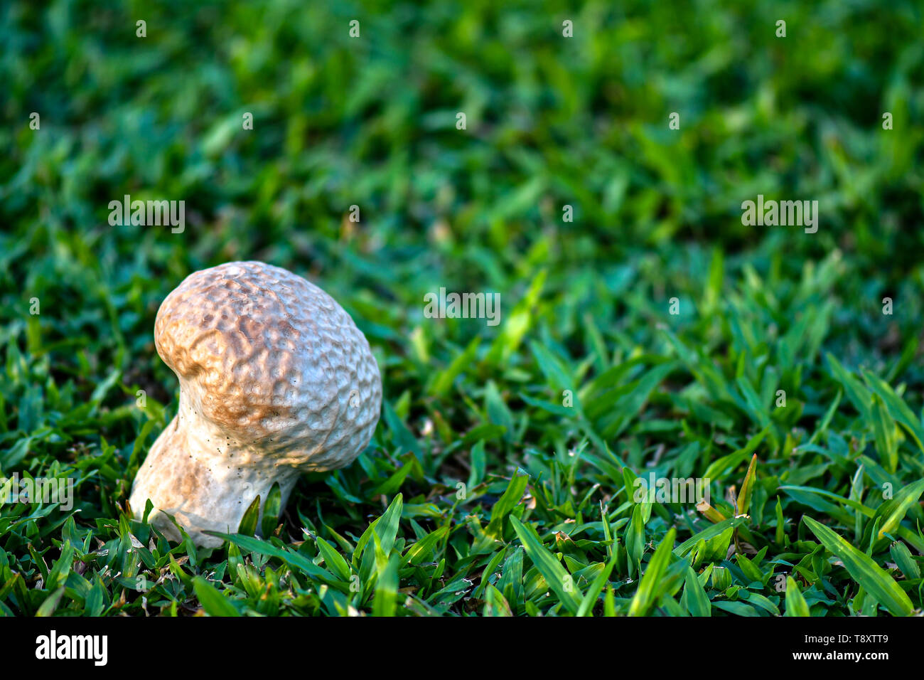 Skull puffball is a species of giant white mushroom. Stock Photo