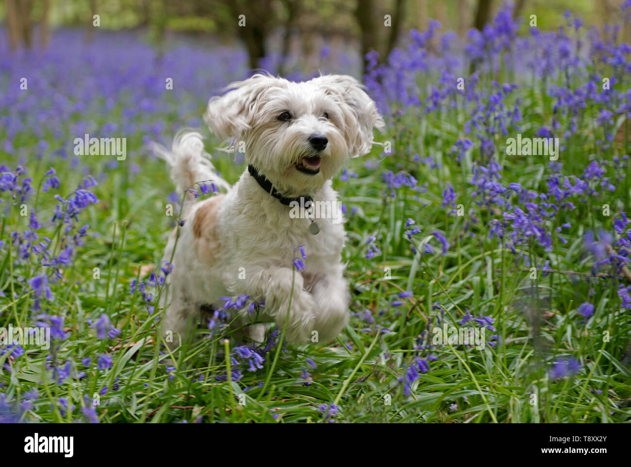 Westie and Jack Russell cross dog-Canis lupus familiaris runs amongst Bluebells-Hyacinthoides non-scripta. - Stock Image