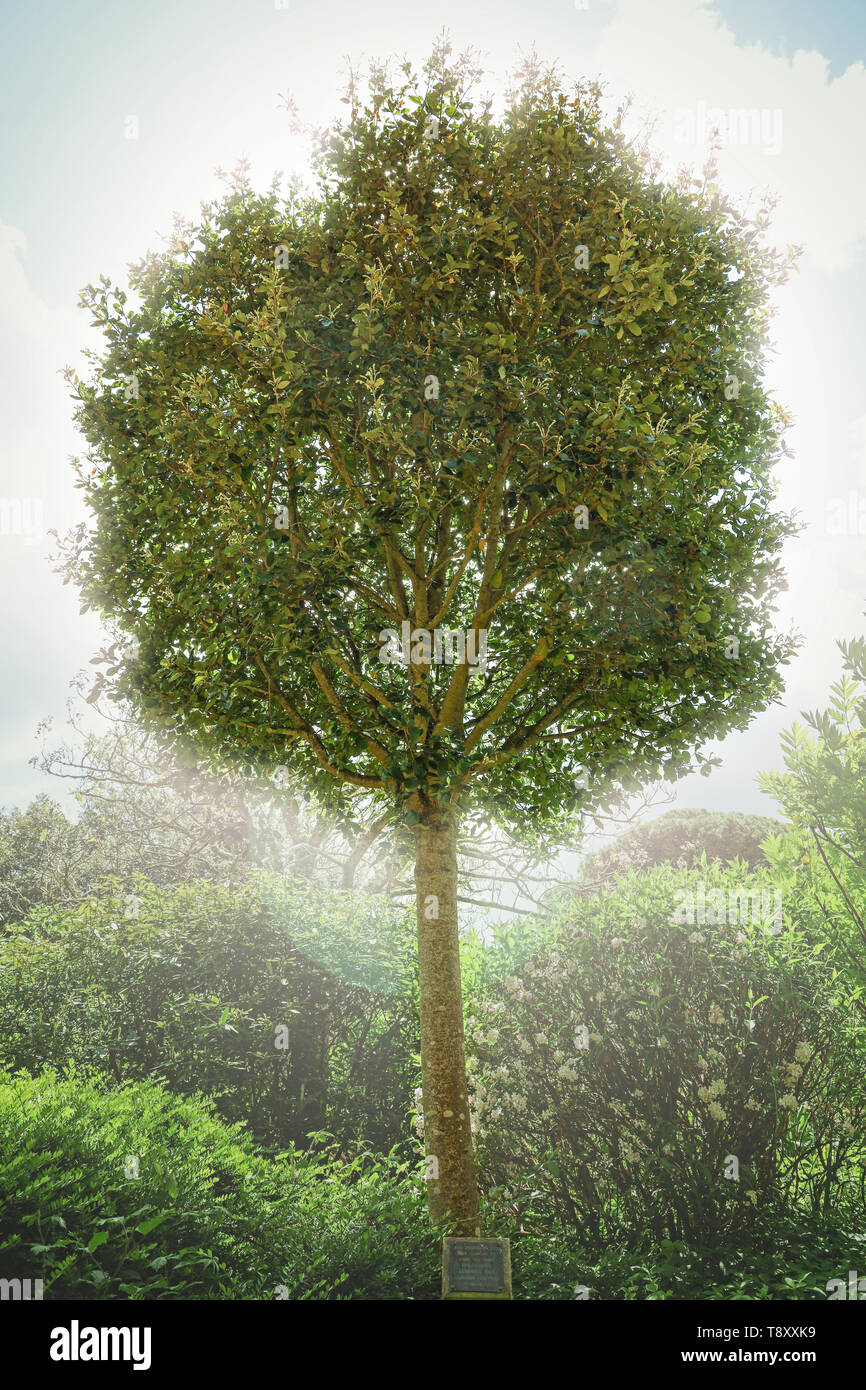 Peace Tree in the formal gardens at Mount Edgcumbe Park Cornwall 2019 - Stock Image