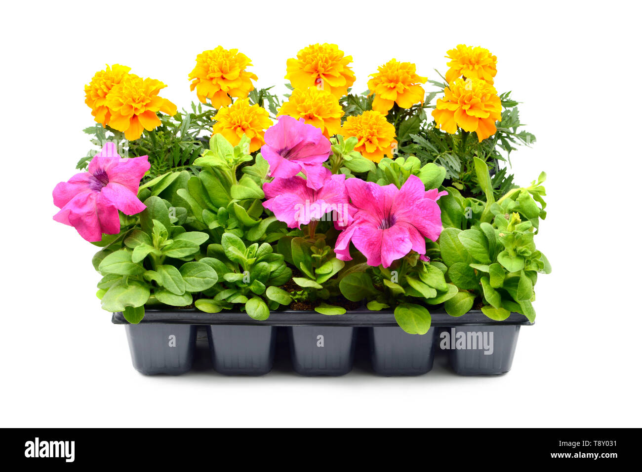 Tagetes and petunia flower tray box on white isolated background. Stock Photo