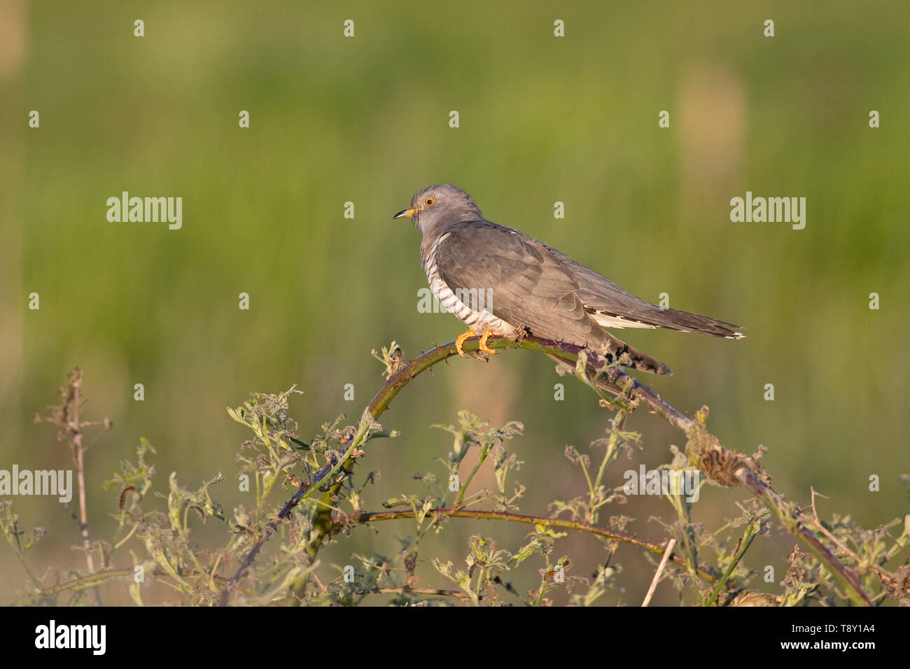 Common Cuckoo (Cuculus canorus) - Stock Image