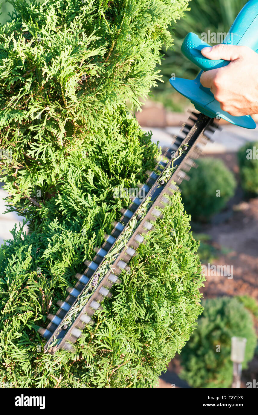 Pruning Plants Close Up. Professional Gardener Pruning conifers,lifestyle - Stock Image