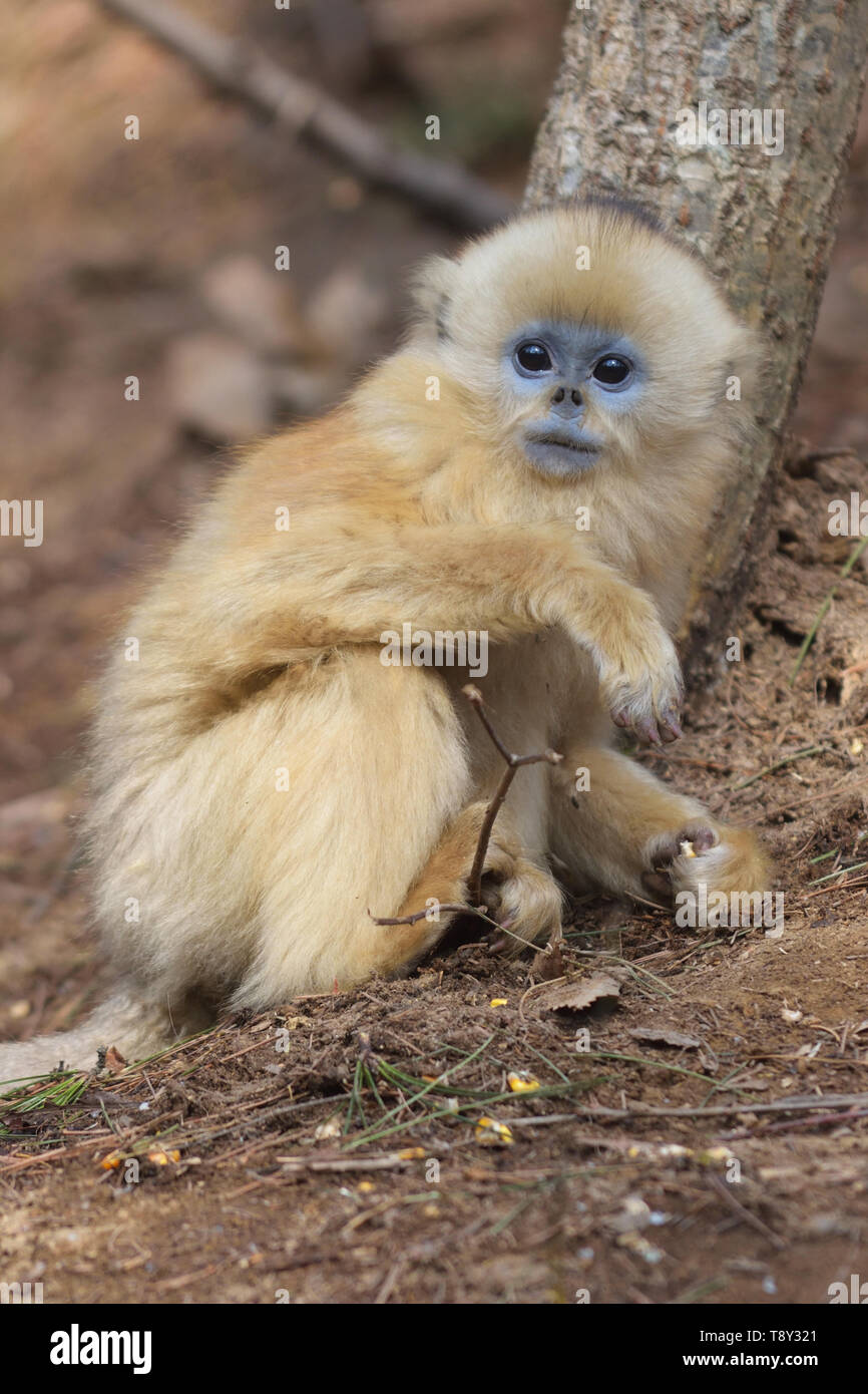 Baby Golden Snub-nosed Monkey (Rhinopithecus roxellana) searching for food in the mountains of Foping Nature Reserve, China. - Stock Image