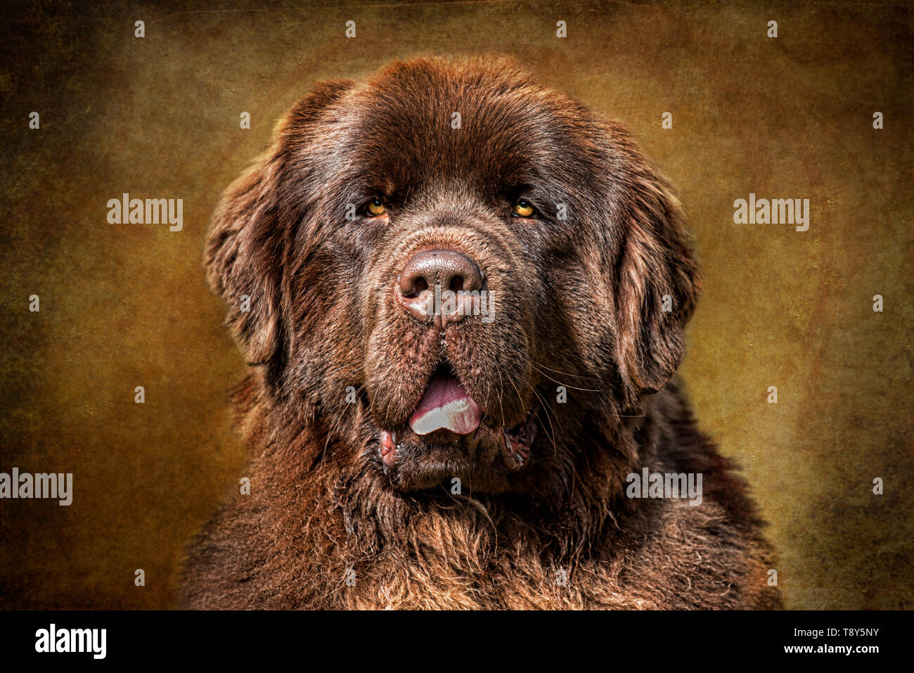 Brown Newfoundland on Brown  photo taken at Albany Oregon  February 25 2017 - Stock Image