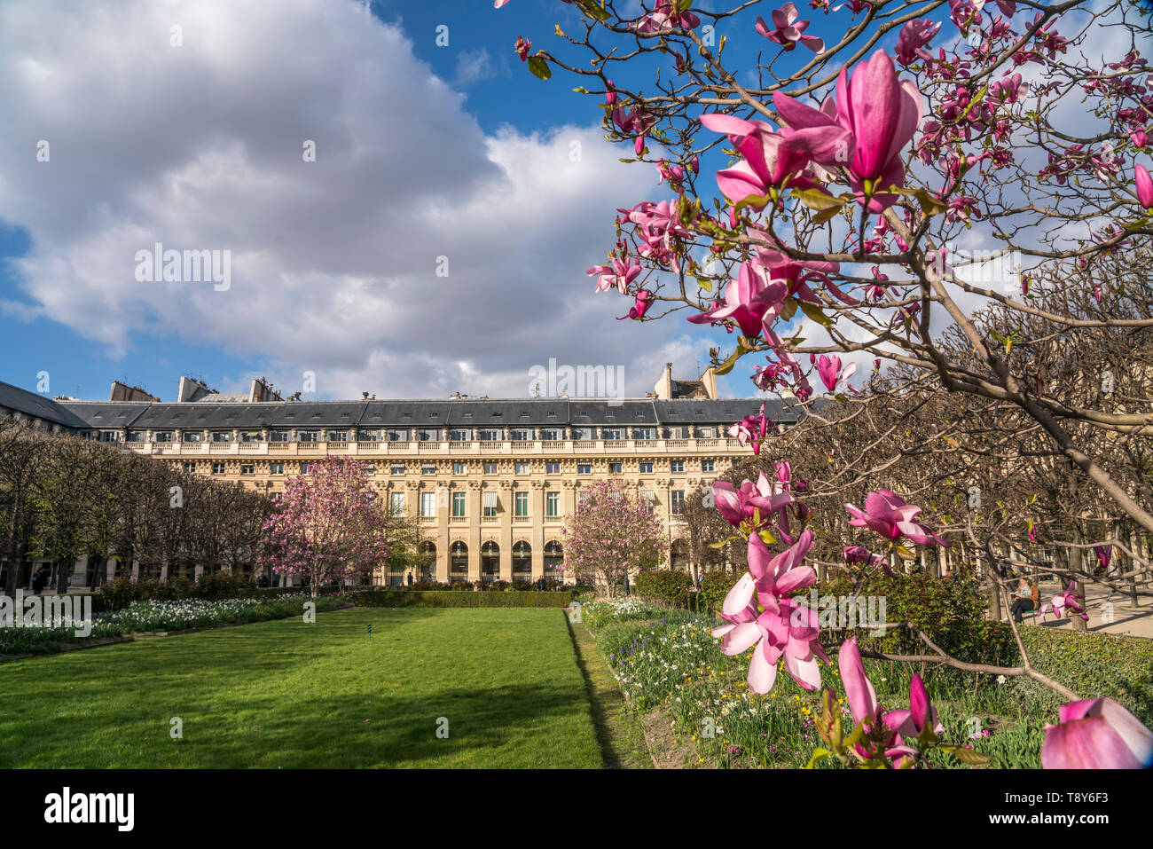 Magnolien im  Park Jardin du Palais Royal,  Paris, Frankreich  |  Magnolia at  Jardin du Palais Royal, Paris, France - Stock Image