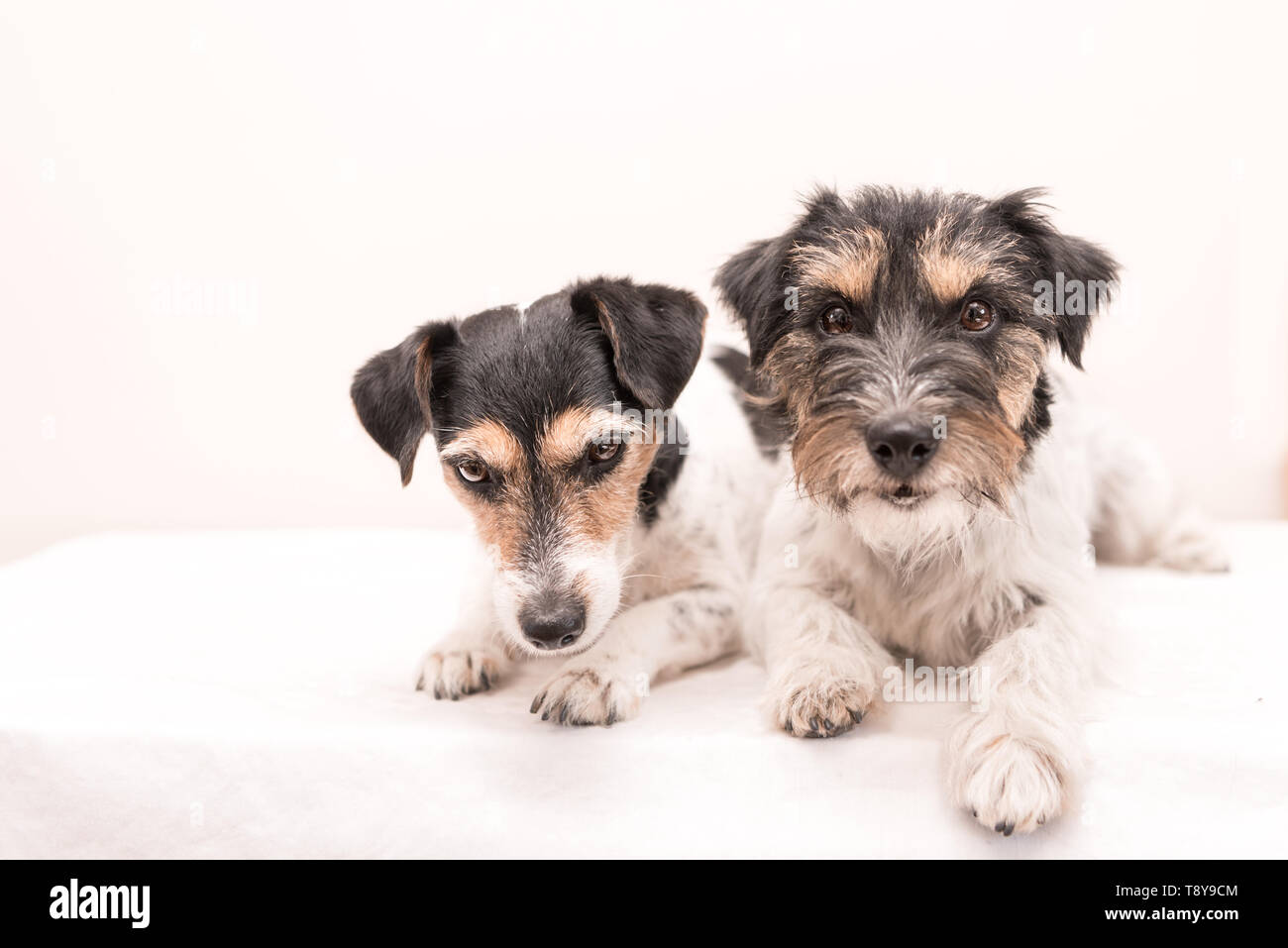 Tow little cute tricolor dog is lying in front of white background. Jack Russell Terrier dos rough-haired and broken haired - Stock Image
