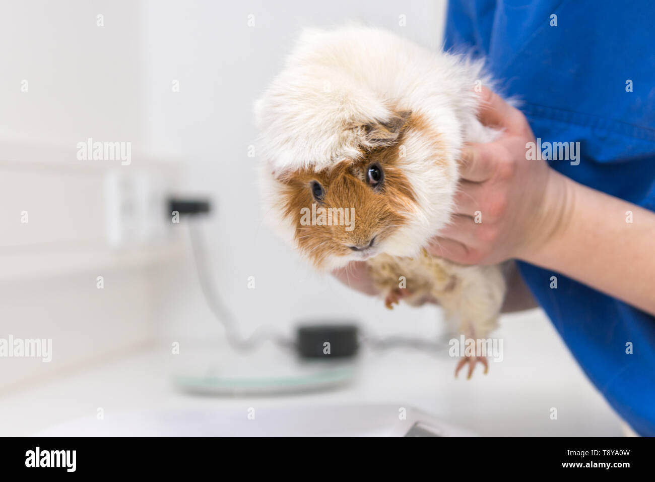 Cute Guinea pig in the veterinary practice is examined by the veterinarian Stock Photo