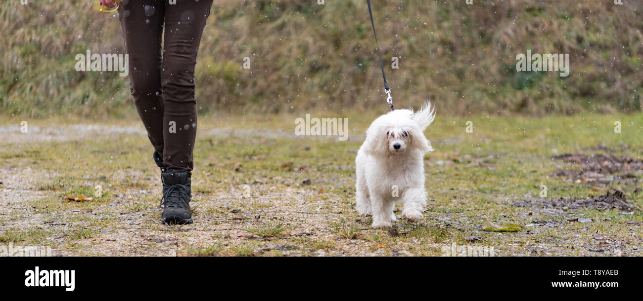Cute Chinese Crested Dog Powder Puff- Dog handler walking with dog in snowfall in winter - Stock Image