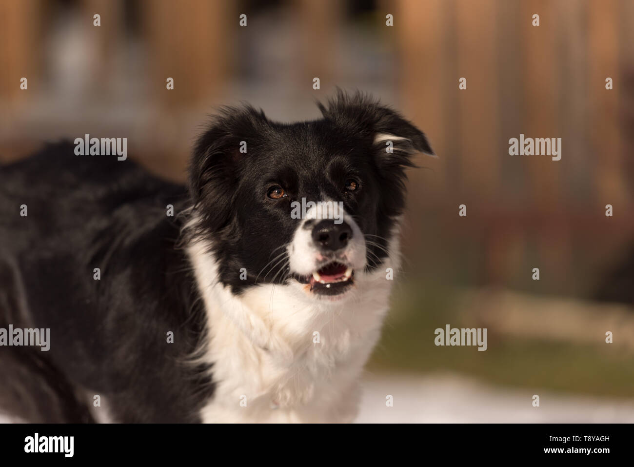 Young Obedient Border collie dog. Head Portrait - Stock Image