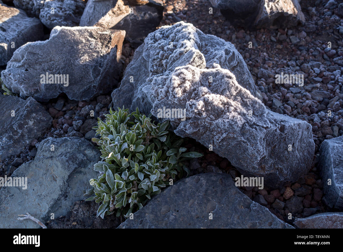 Lava stones covered by thin layer of an ice, together with a plants with ice on the silhouette of the leaves. Cold spring morning in Teide National Pa Stock Photo