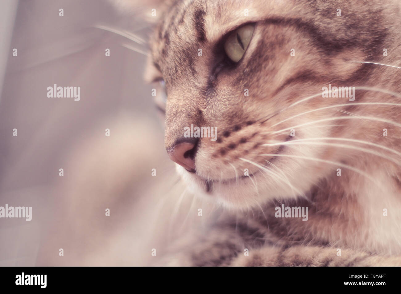 Portrait of brown mackerel young tabby cat adorable pet friend, close-up, curiousness looking and watching - Stock Image