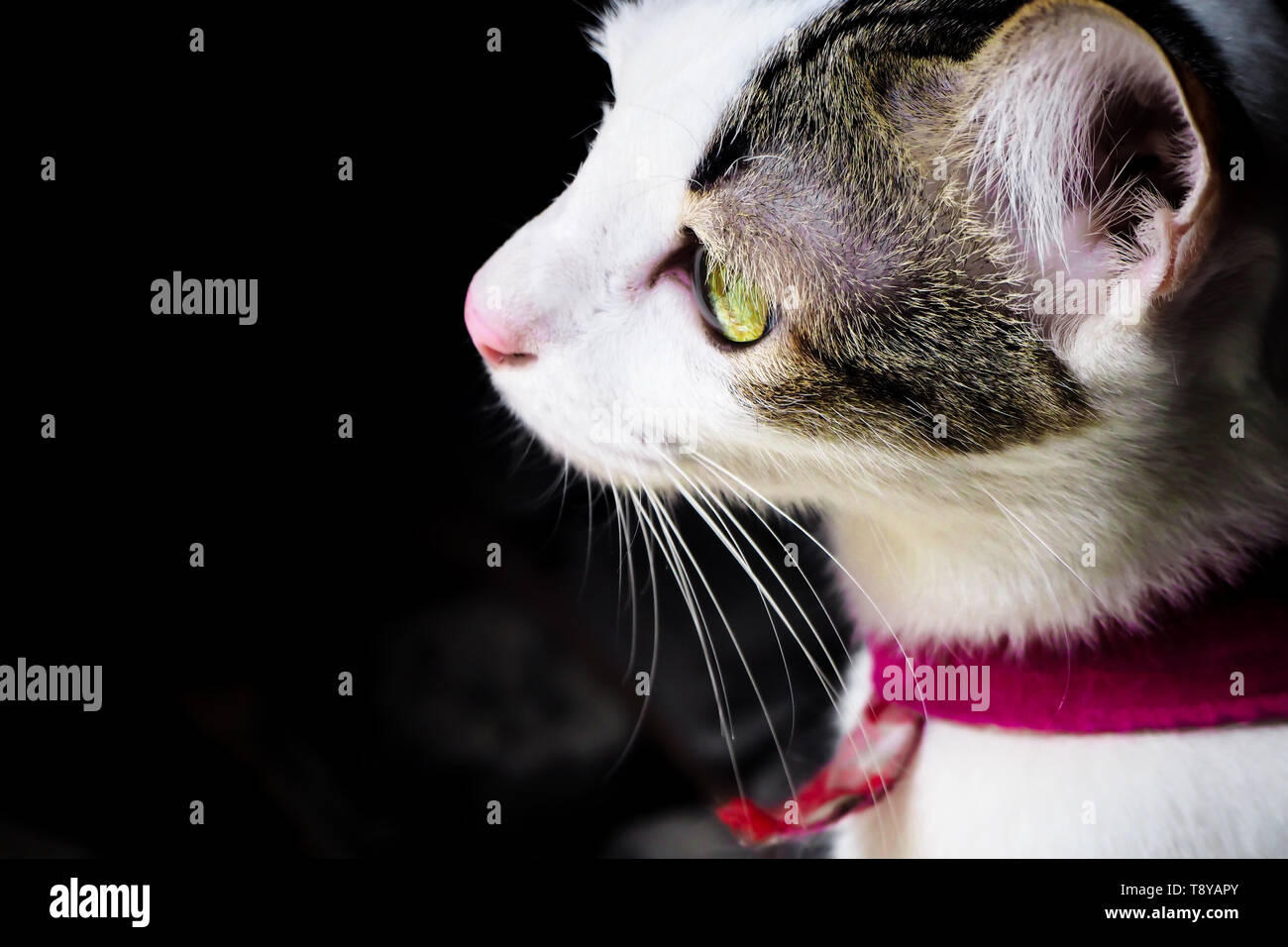 Close up  side view of black white cute kitten. Pets and lifestyle concept. Lovely fluffy cat on dark background Stock Photo