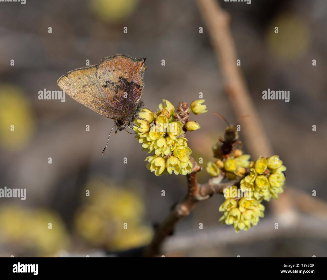 brown elfin butterfly Stock Photo