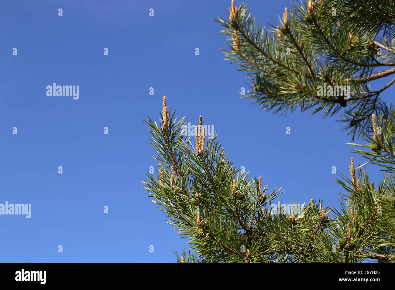 Young green pine branch in the coniferous forest - Stock Image