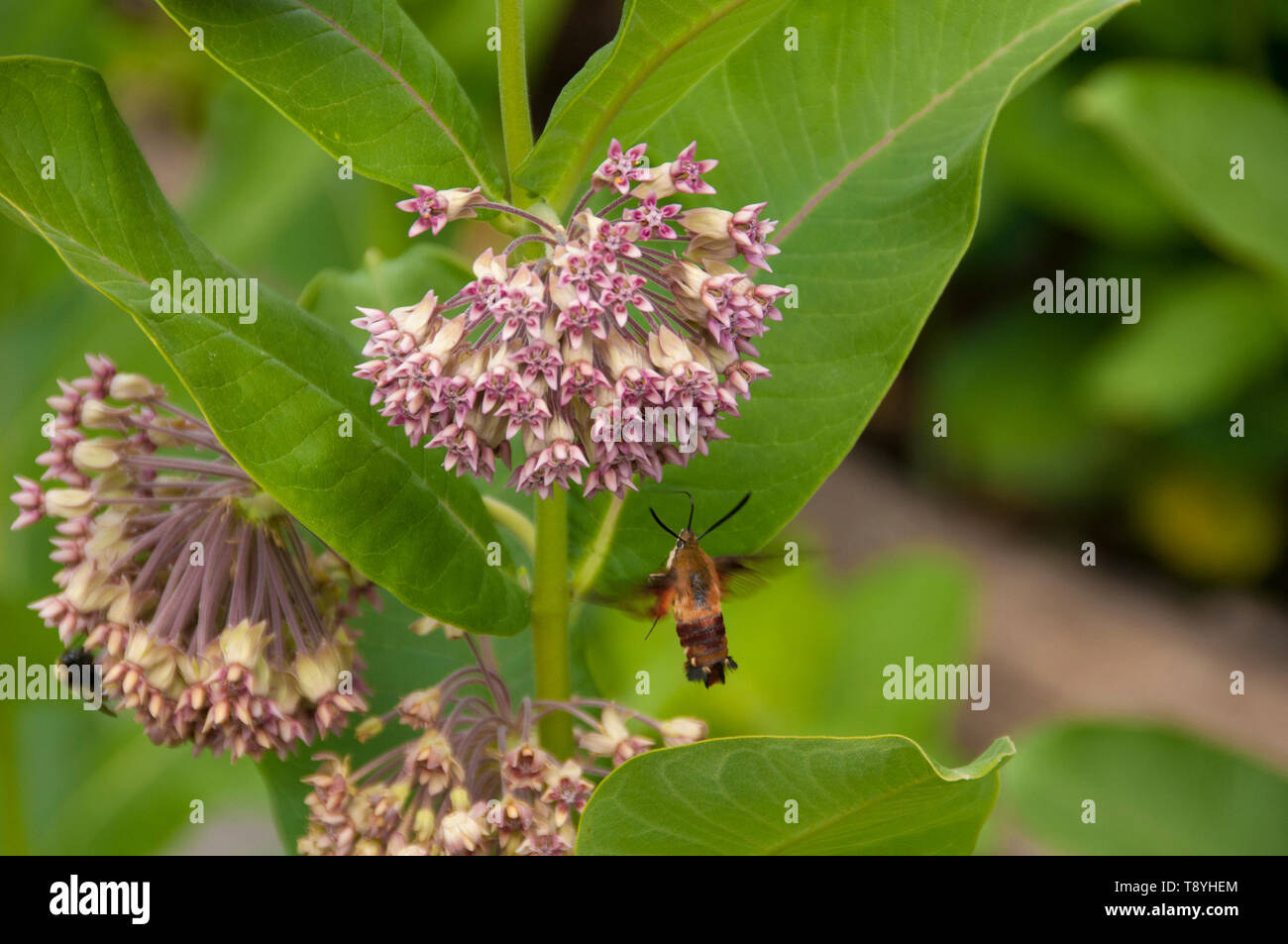 Hummingbird hawk-moth (Asclepias syriaca) feeding on Common Milkweed plant.  Bumblebee in background on separate blossom, near Thunder Bay, Ontario, C - Stock Image