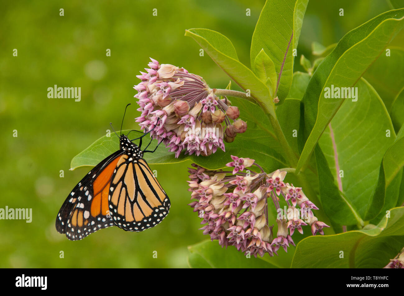 Monarch butterfly (Danaus plexippus) on Milkweed plant (Asclepias syriaca), a latex producting toxic plant, both at the limit of their northern range  - Stock Image