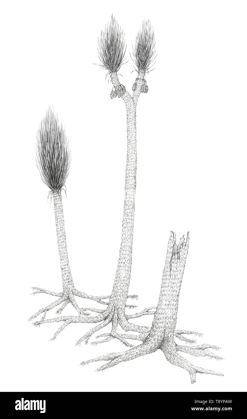 Drawing of a extinct Carboniferous tree-like plants Sigillaria. Graphite pencil on paper. - Stock Image