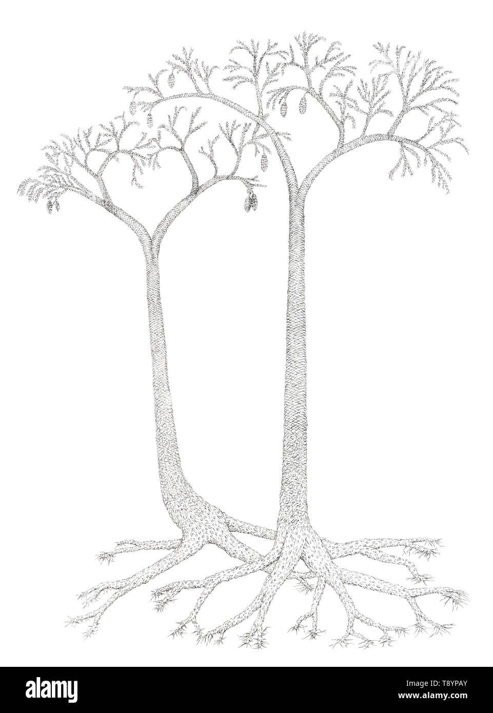 Drawing of a extinct tree-like plants Lepidodendron. Graphite pencil on paper. - Stock Image