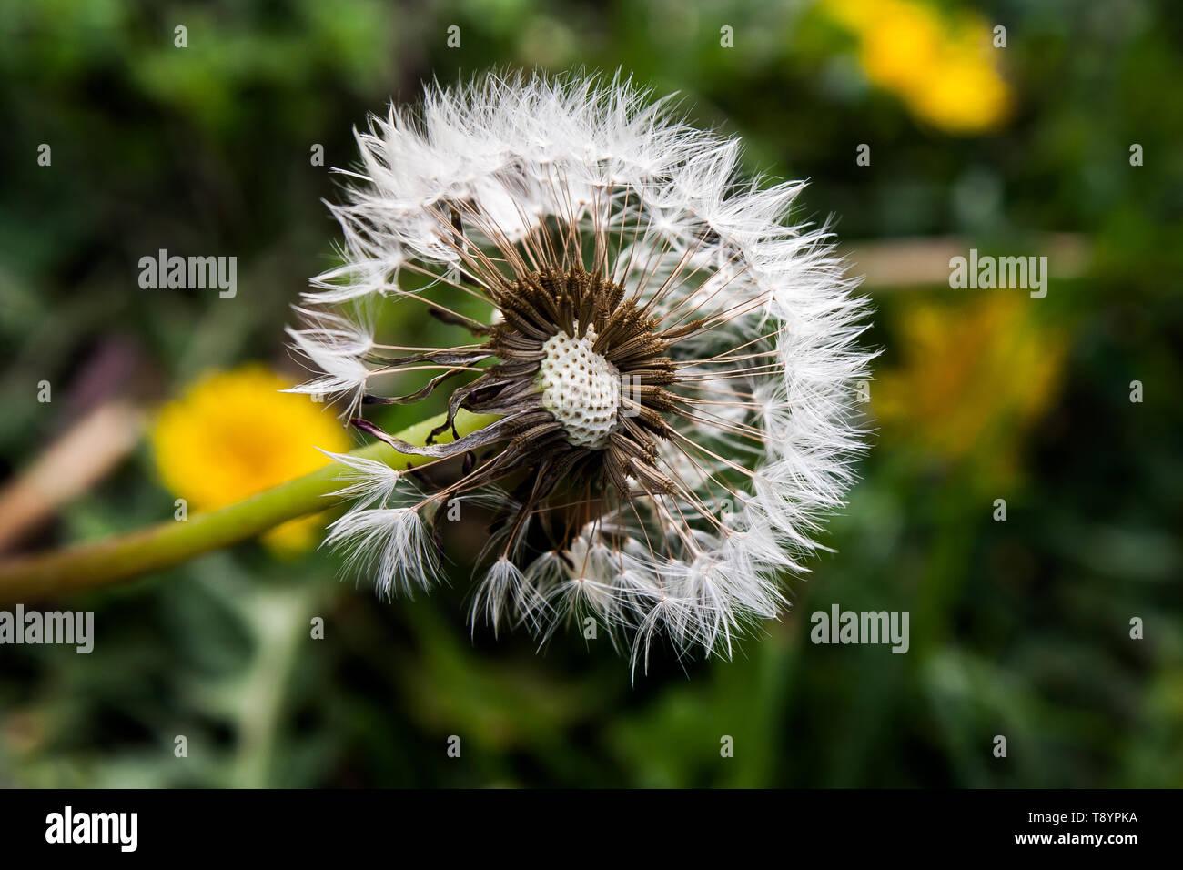 Old Dandelion Fluff - Stock Image