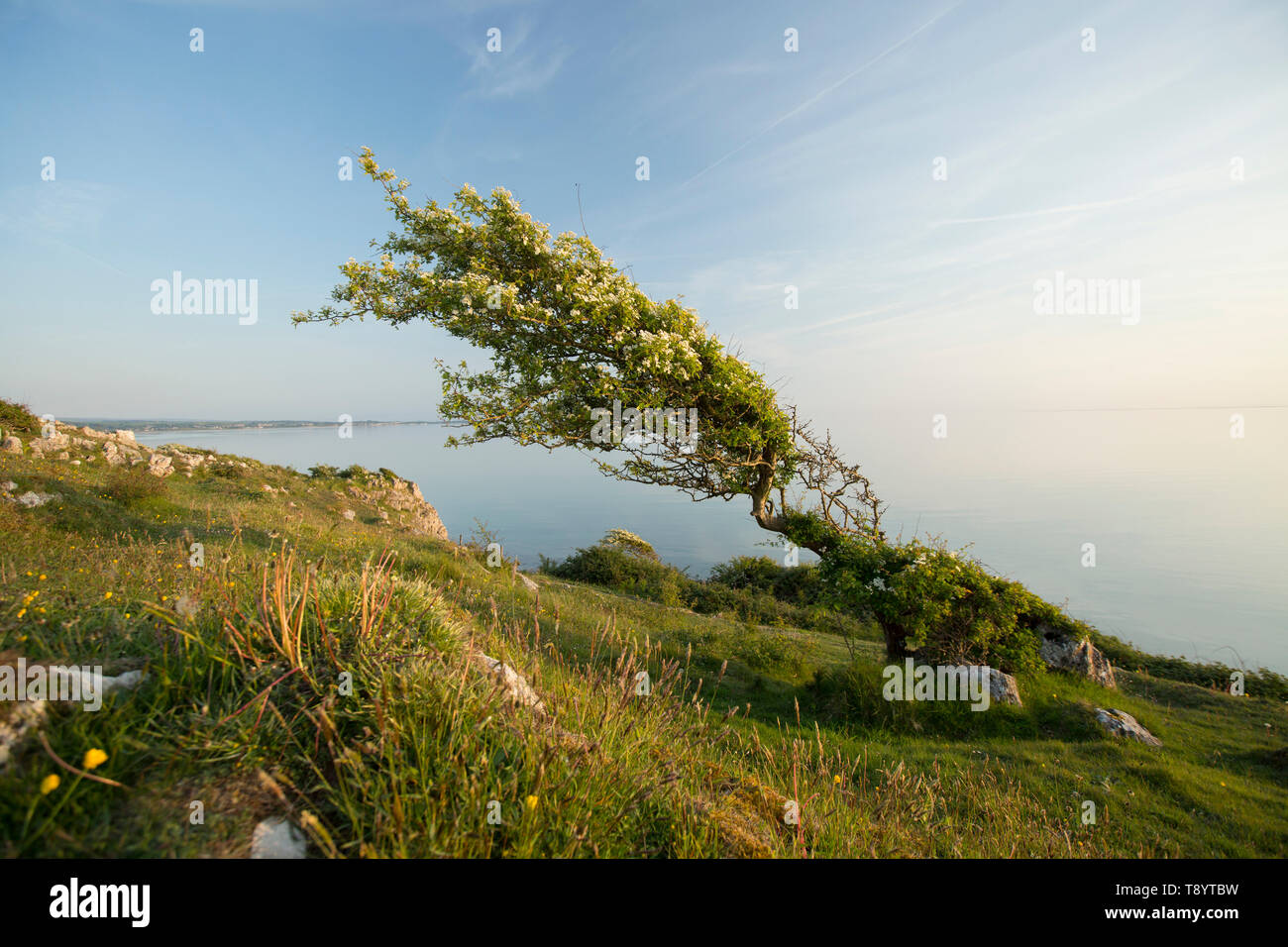 A single, flowering hawthorn tree, Crataegus monogyna, in May on a sunny afternoon growing on cliffs on the edge of Morecambe Bay at high tide close t - Stock Image
