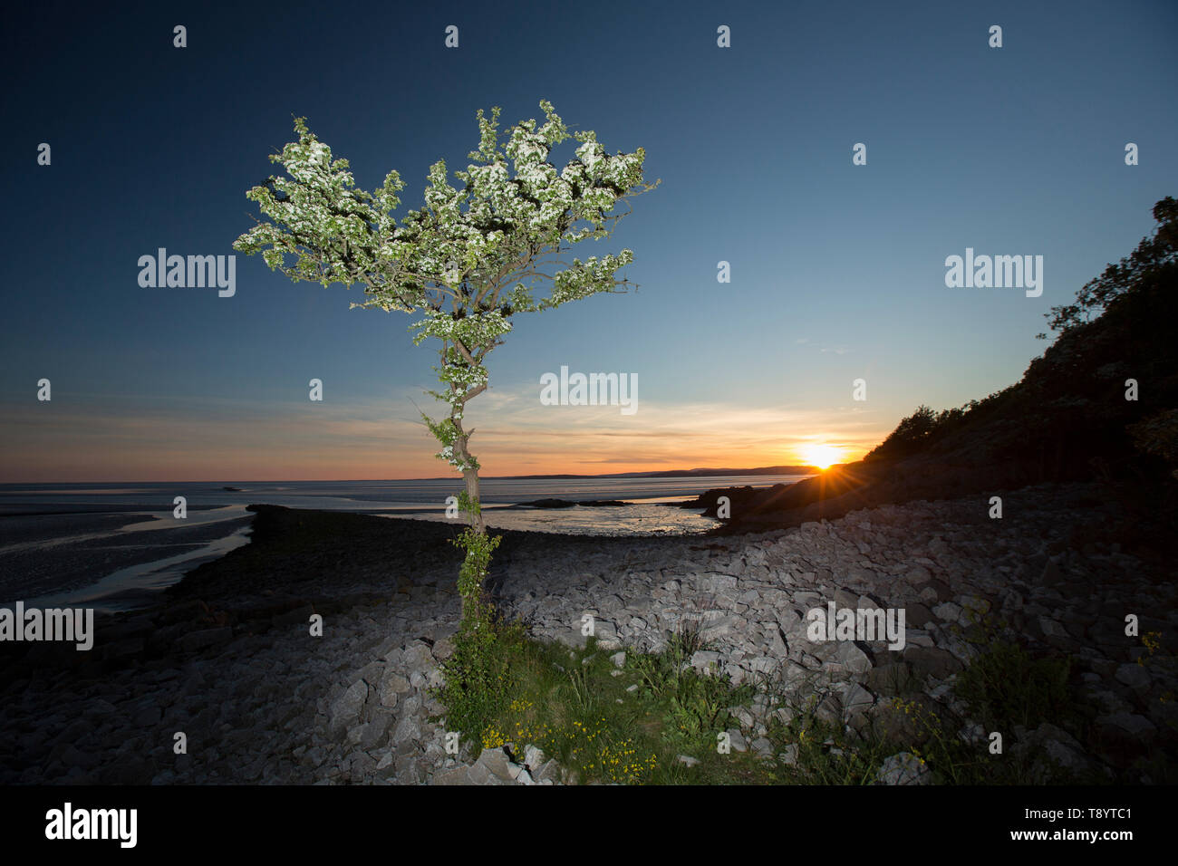 A single, flowering hawthorn tree, Crataegus monogyna, at sunset lit by flash growing at Jenny Brown's Point near the village of Silverdale on the edg - Stock Image