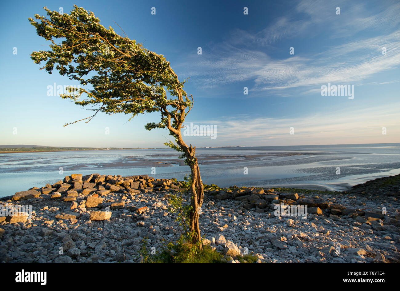 A single, flowering hawthorn tree, Crataegus monogyna, at sunset growing at Jenny Brown's Point near the village of Silverdale on the edge of the estu - Stock Image