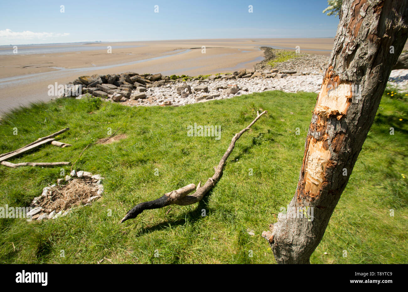 A hawthorn tree, Crataegus monogyna, growing at Jenny Brown's Point near the village of Silverdale on the edge of Morecambe Bay. Unsuccessful attempts - Stock Image