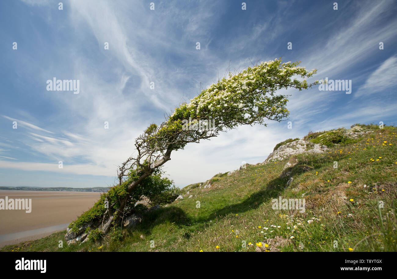 A single, flowering hawthorn tree, Crataegus monogyna, in May on a sunny afternoon growing on cliffs on the edge of Morecambe Bay at low tide close to - Stock Image