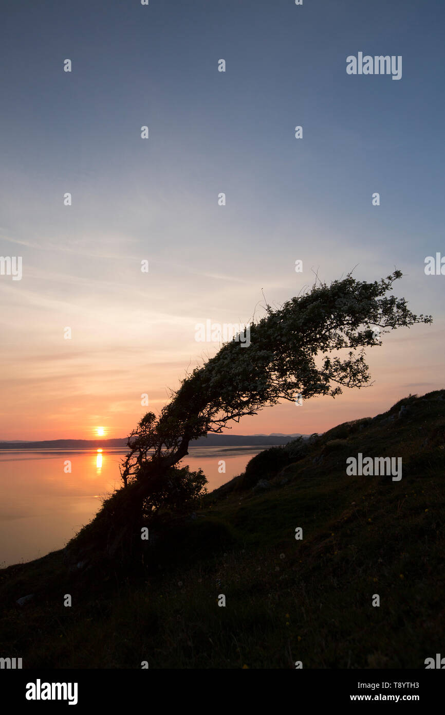 A single, flowering hawthorn tree, Crataegus monogyna, at sunset and high tide growing on cliffs close to Jenny Brown's Point near the village of Silv - Stock Image