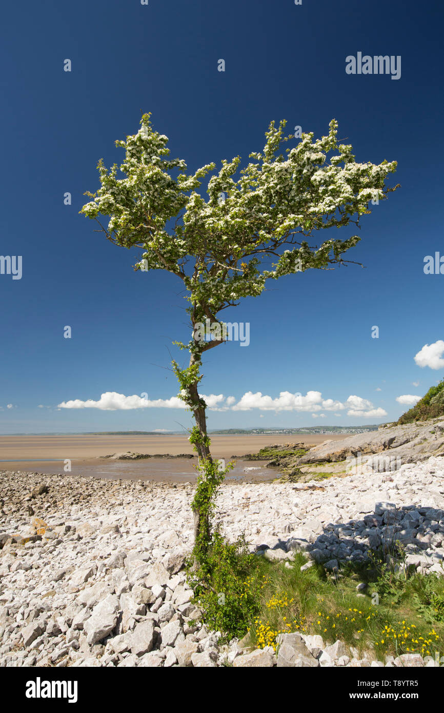 A single, flowering hawthorn tree, Crataegus monogyna, on a sunny day in May growing at Jenny Brown's Point near the village of Silverdale on the edge - Stock Image