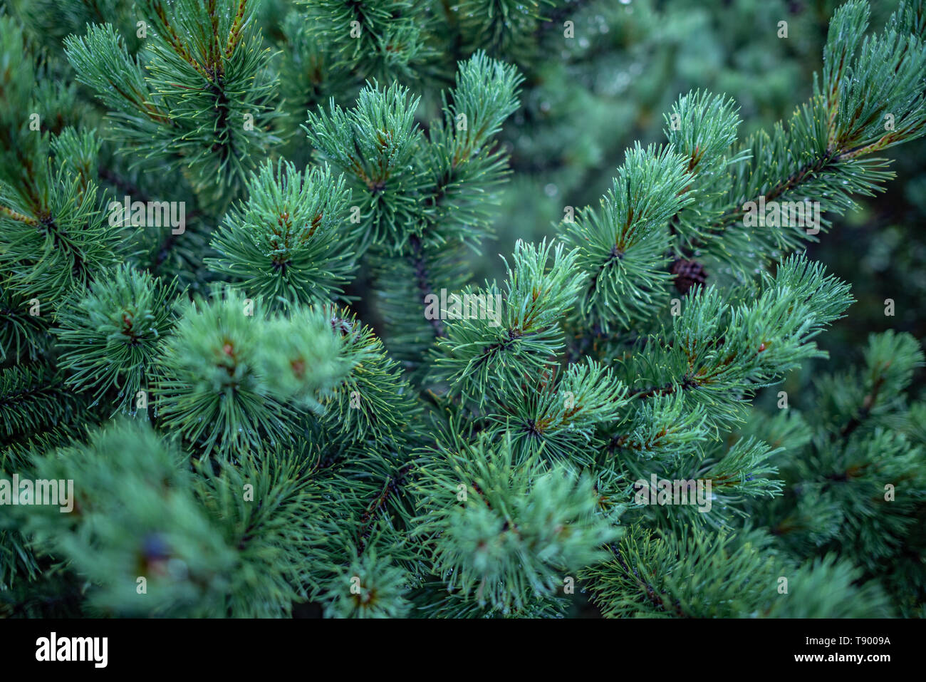 The branches of spruce or pine close-up. - Stock Image
