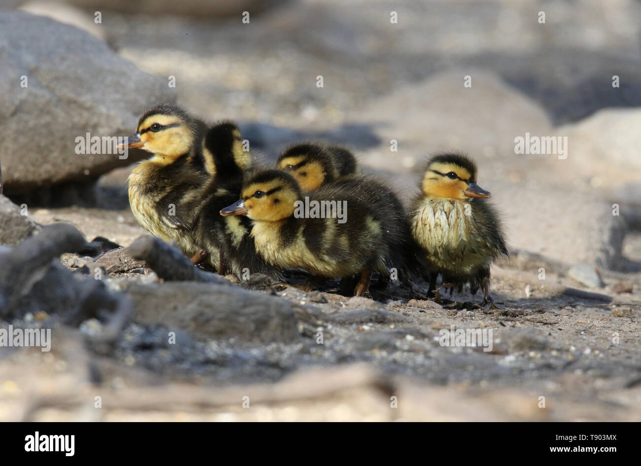 A group of newly hatched mallard ducklings huddle together - Stock Image