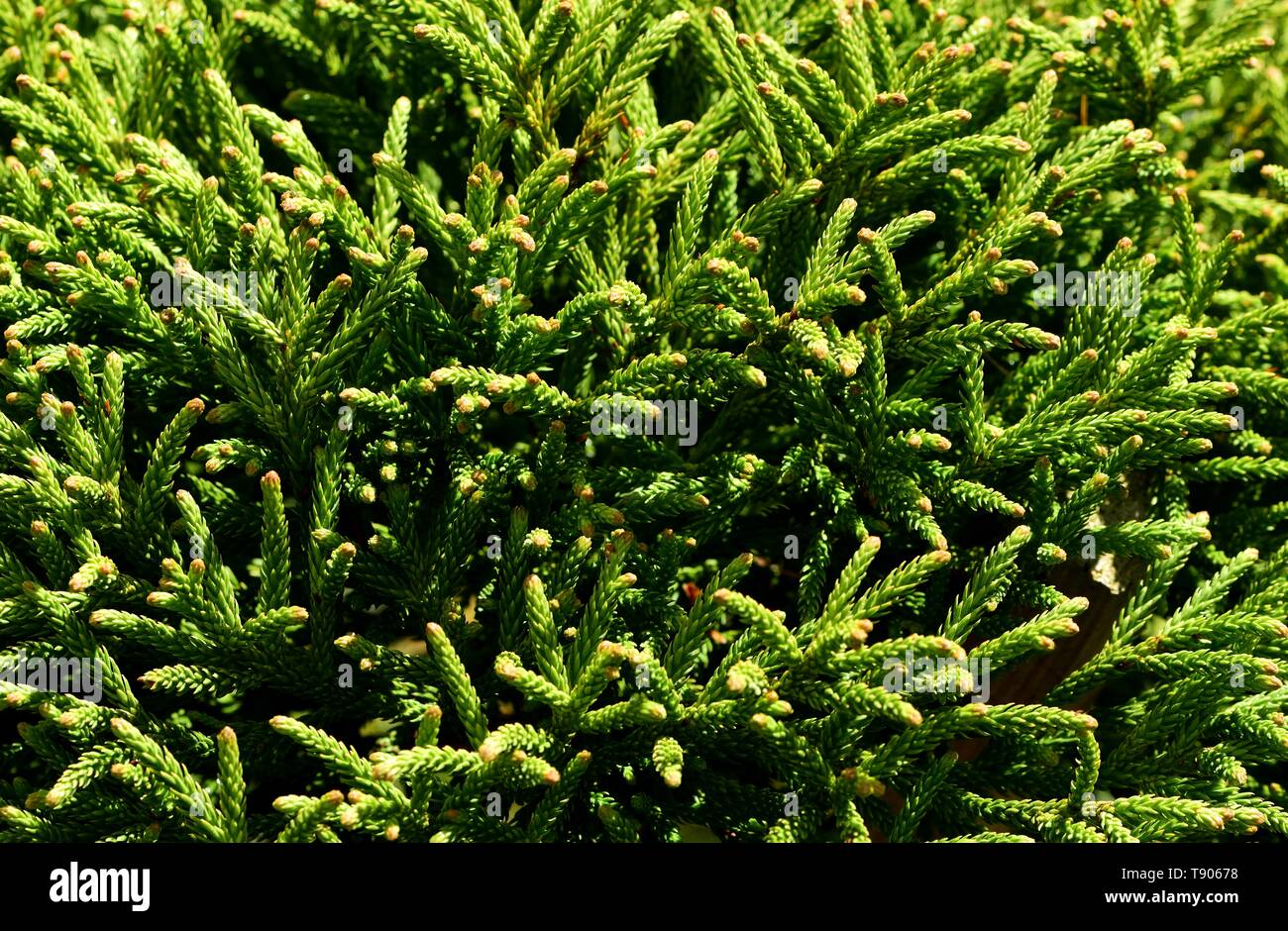 Closeup of a young Cryptomeria tree. - Stock Image